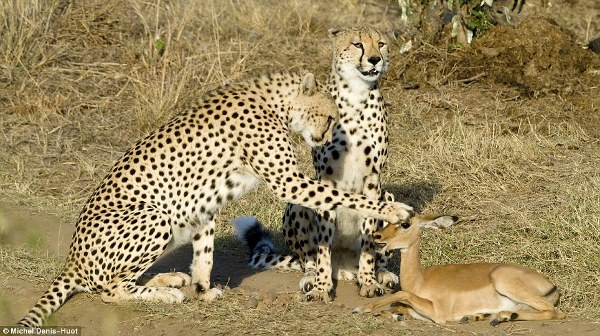 15 Minute Friends: Three Cheetahs and an Antelope
