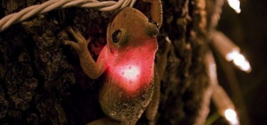 light emitting toad